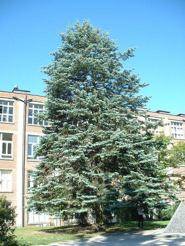 Sapin du Colorado – Bruxelles, Université Libre de Bruxelles - Solbosch, parc –  15 Juillet 2003