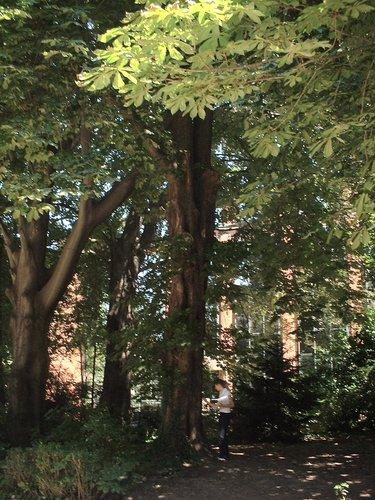 Marronnier commun – Bruxelles, Université Libre de Bruxelles - Solbosch, parc –  15 Juillet 2003