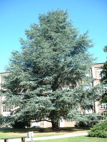 Cèdre bleu de l'Atlas – Bruxelles, Université Libre de Bruxelles - Solbosch, jardin de façade –  15 Juillet 2003