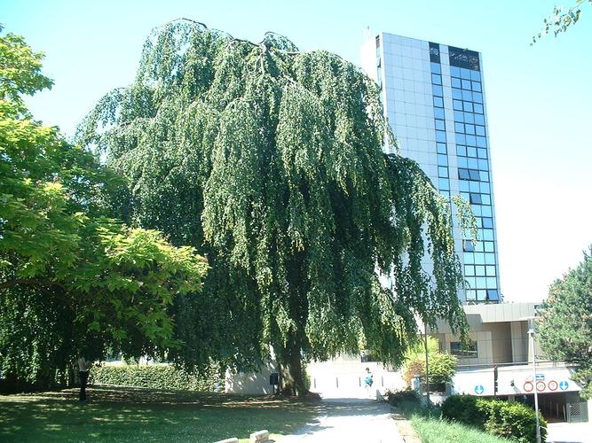 Hêtre pleureur – Bruxelles, Université Libre de Bruxelles - Solbosch, parc –  15 Juillet 2003