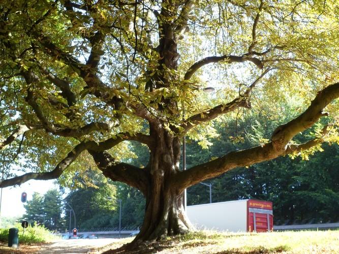 Marronnier commun – Bruxelles, Parc de la Drève Sainte-Anne –  07 Septembre 2012
