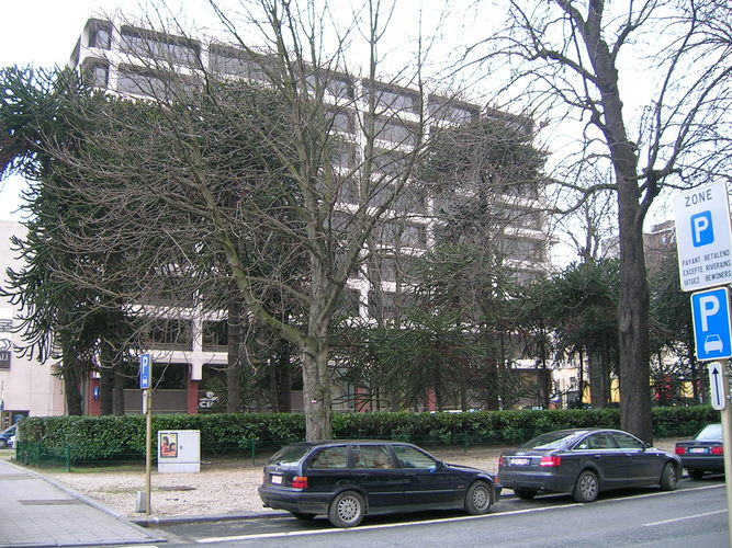 Araucaria du Chili – Bruxelles, Avenue Louise –  22 Février 2005