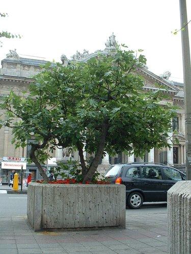 Figuier commun – Bruxelles, Place de la Bourse , Place de la Bourse –  12 Juin 2002