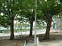 Ptérocaryer à feuilles de frêne – Bruxelles, Petite rue des Brigittines –  08 Mai 2002