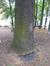 Chêne pédonculé – Etterbeek, Avenue Edmond Mesens, 2 –  15 Septembre 2015