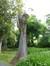Erable sycomore – Etterbeek, Jardin Jean Félix Hap, parc –  23 Mai 2014