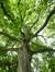 Erable sycomore – Etterbeek, Jardin Jean Félix Hap –  23 Mai 2014