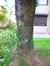 Aulne à feuilles cordées – Evere, Rue Fernand Léger –  24 Novembre 2016