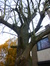 Catalpa commun – Evere, Rue Fernand Léger, 46a –  24 Novembre 2016