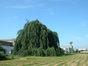 Hêtre pleureur – Evere, Chaussée de Louvain, 862 –  17 Juin 2002