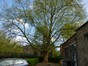 Platane à feuille d'érable – Evere, Rue de Zaventem, 40 –  08 Avril 2014
