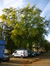 Acer saccharinum var. laciniatum – Evere, Quartier Tornooiveld, Avenue du Destrier –  31 Octobre 2013