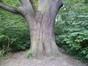 Chêne pédonculé – Forest, Parc Jacques Brel, Avenue Kersbeek –  21 Septembre 2012