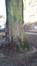 Tilleul argenté pleureur – Forest, Parc Marconi, parc –  08 Janvier 2016