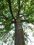 Chêne pédonculé – Ganshoren, Parc du Château de Rivieren, Drève du Château, 66 –  08 Juin 2012