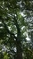 Acer pseudoplatanus 'Purpurascens' – Elsene, Tuinen van de Ter Kamerenabdij –  24 Oktober 2017