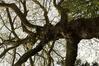 Platane à feuille d'érable – Anderlecht, Parc Astrid, parc –  03 Mai 2021