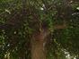 Ginkgo biloba 'Pendula' – Elsene, Tuinen van de Ter Kamerenabdij, parc –  22 Oktober 2003