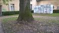 Fraxinus excelsior var. elegantissima – Ixelles, Jardins de l'Abbaye de la Cambre –  24 Octobre 2017