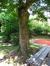Frêne à fleurs/plumeux – Anderlecht, Parc Joseph Lemaire, Rue Claude Debussy –  29 Juillet 2008