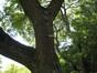 Savonnier de Chine – Ixelles, Parc Tenbosch –  24 Juin 2008