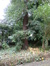 Sequoia sempervirent – Ixelles, Parc Tenbosch –  22 Octobre 2014