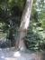 Sophora du Japon – Ixelles, Parc Tenbosch –  24 Juin 2008