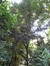 Sycopsis sinensis – Elsene, Tenboschpark –  24 Juni 2008