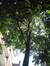 Tilia mongolica – Elsene, Tenboschpark –  24 Juni 2008