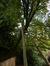 Umbellaria de Californie – Ixelles, Parc Tenbosch –  27 Octobre 2014