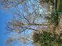 Chêne pédonculé – Jette, Parc Roi Baudouin phase 1, parc –  05 Mars 2021