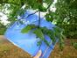 Carpinus betulus var. incisa – Jette, Titecapark, Dieleghemdreef, 79 –  30 Juli 2013