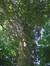 Hêtre d'Europe – Jette, Parc Titeca, Drève de Dieleghem, 79 –  10 Juillet 2013