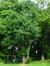 Arbre aux quarante écus – Jette, Parc Titeca, Drève de Dieleghem, 79 –  30 Juillet 2013