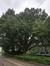 Chêne de Hongrie