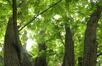 Ptérocaryer à feuilles de frêne – Jette, Square Jules Lorge, Square Jules Lorge –  19 Mai 2020