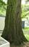 Sequoia géant – Jette, Parc de la clinique Sans Souci, Avenue de l'Exposition Universelle, 218 –  18 Juin 2019