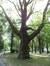 Platane à feuille d'érable – Koekelberg, Parc Elisabeth –  04 Juillet 2012