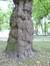 Platane à feuille d'érable – Koekelberg, Parc Elisabeth –  03 Juin 2014