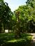 Acer saccharinum 'Aspleniifolium'