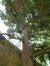 Japanse ceder – Sint-Jans-Molenbeek, Karreveldpark –  30 Mei 2012