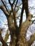 Arbre aux quarante écus – Molenbeek-Saint-Jean, Parc des Muses, parc –  06 Mars 2015