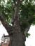 Platane à feuille d'érable – Molenbeek-Saint-Jean, Square des Libérateurs –  16 Juin 2020