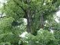 Tilleul argenté – Schaerbeek, Parc Albert ou Terdelt, Drève Recteur Van Waeyenbergh –  04 Juin 2002