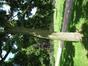 Phellodendron de l'amour – Anderlecht, Parc de Scherdemael, parc –  30 Juillet 2008