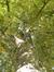 Tilleul argenté – Schaerbeek, Place de Jamblinne de Meux, Place de Jamblinne de Meux, face 42 –  29 Septembre 2015