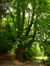 Marronnier commun – Schaerbeek, Parc Josaphat –  13 Mai 2014