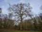 Platane à feuille d'érable – Schaerbeek, Parc Josaphat –  27 Janvier 2015