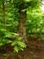 Ptérocaryer à feuilles de frêne – Schaerbeek, Parc Josaphat –  12 Mai 2014
