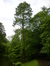 Cyprès chauve de Louisiane